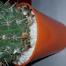 Parodia mammulosa subsp. submammulosus