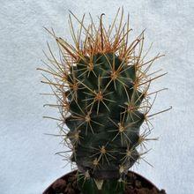 Ancistrocactus pinkavanus
