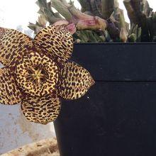 Orbea variegata