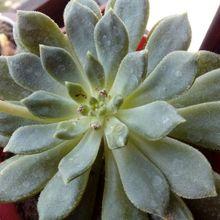 Echeveria Ron Evans (E. amoena x setosa) (HIBRIDO)