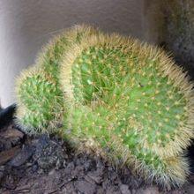 Cleistocactus winteri f. crestada