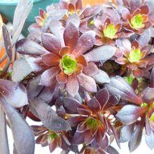 Aeonium arboreum cv. artropurpureum