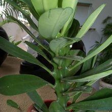 Euphorbia nerifolia