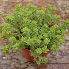 Sedum hispanicum cv. Aureum