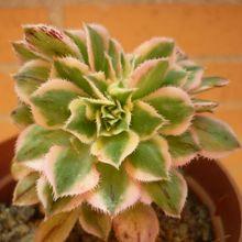 Aeonium decorum cv. Sunburst