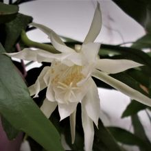 Epiphyllum pumilum