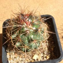 Thelocactus bicolor ssp. flavidispinus