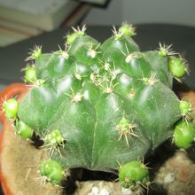Gymnocalycium marsoneri ssp. matoense