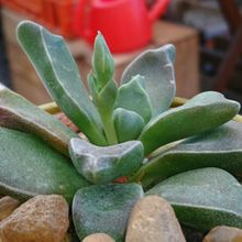 Rhombophyllum rhomboideum