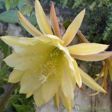 Epiphyllum cv. French Custard