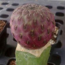Sulcorebutia tarabucoensis ssp. rauschii