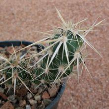 Corynopuntia clavata