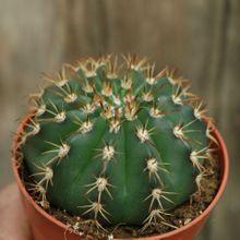 Melocactus braunii