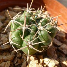 Gymnocalycium monvillei ssp. achirasense