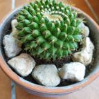Mammillaria marksiana