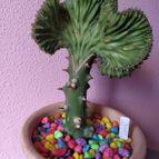 Euphorbia lactea fma. crestada