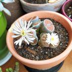 Lithops karasmontana ssp. karasmontana