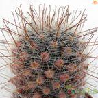 Mammillaria mercadensis