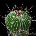 Stenocactus multicostatus subsp. zacatecasensis