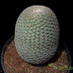 Echinopsis famatimensis