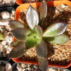 Echeveria cv. Black Prince