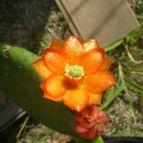 Collecion de Cactus-Uirapuru