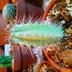 Cactusdea2-45244
