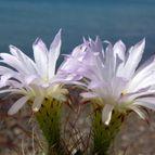 Acanthocalycium klimpelianum