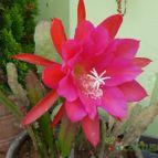 Epiphyllum Spiritu Santo