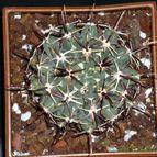 Glandulicactus crassihamatus