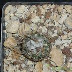 Turbinicarpus dickisoniae