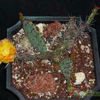 Opuntia macrocentra