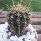 Guilhermecactus-46747