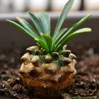 Euphorbia bupleurifolia x susannae