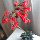 Echeveria affinis