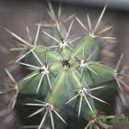 Pachycereus pecten-aboriginum