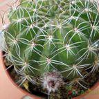Echinopsis tegeleriana