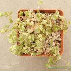 Crassula pellucida ssp. marginalis fma. variegada