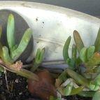 Malephora purpurocrocea