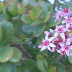 Kaktus-grys-46788