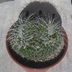 Mammillaria karwinskiana subsp. nejapensis