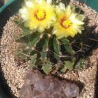 Kaktus-grys-47914