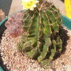 47914 Kaktus-grys