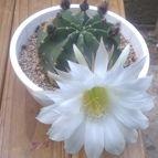 47925 Kaktus-grys