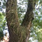 Rhipsalis aculeata