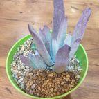 Cotyledon orbiculata var. flanaganii