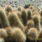 Echinopsis strigosa