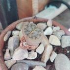 Lithops schwantesii ssp. schwantesii v. schwantesii
