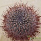 Sulcorebutia tiraquensis
