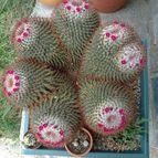 Collecion de Papillonacea1